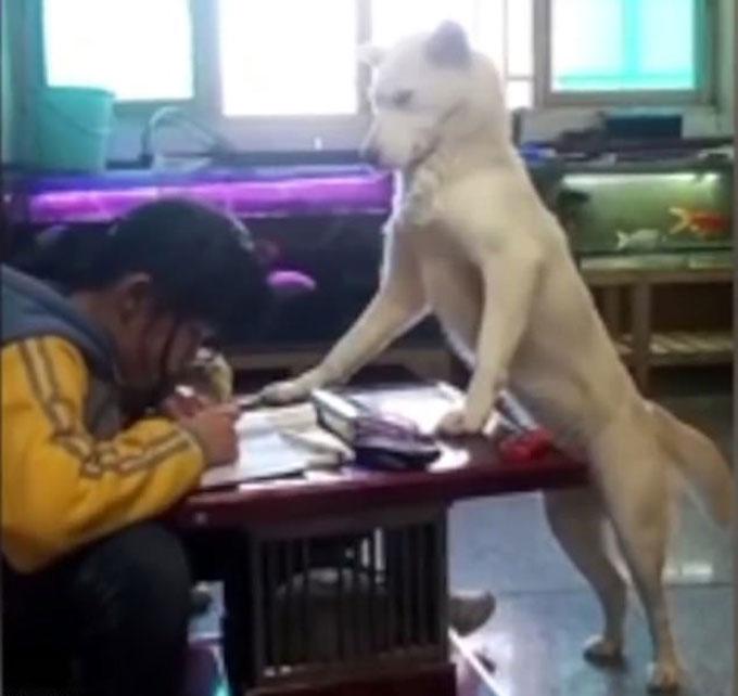 Con chó đặt hai chân trước lên bàn để canh chừng việc học cho con gái anh Xu ở thành phố Quý Dương, tỉnh Quý Châu, Trung Quốc. Ảnh: Pear Video.