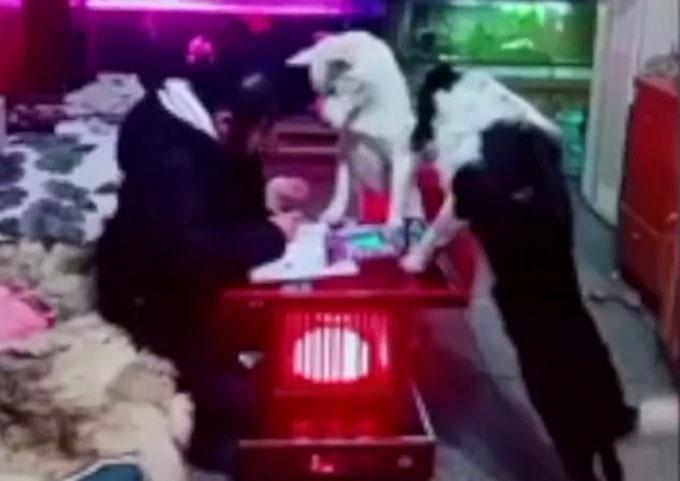 Con gái anh Xu được cùng lúc hai con chó giám sát khi làm bài tập về nhà. Ảnh: Pear Video.