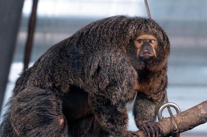 Con khỉ cái với thân hình lực lưỡng thuộc loài khỉ Saki mặt trắng ở sở thú Phần Lan. Ảnh: SWNS.