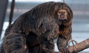 Khỉ cái ở vườn thú Phần Lan cơ bắp cuồn cuộn