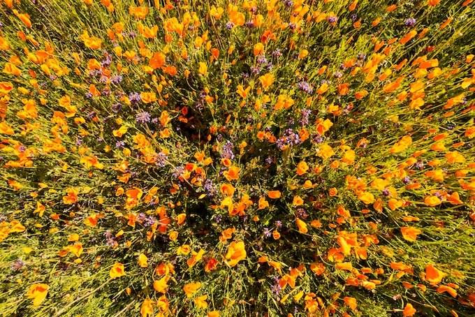 Thảm hoa anh túc như tranh sơn dầu ở Mỹ vài năm mới nở một lần