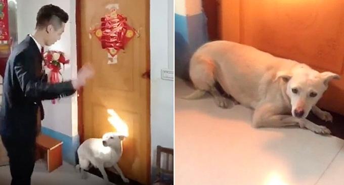 Con chó nằm tấn trước cửa phòng cô dâu trong ngày cưới, không cho chú rể vào trong như thường lệ. Ảnh: Sinchew.