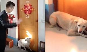 Chó nằm lì trước cửa không cho chú rể đón dâu