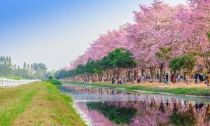 Con đường hoa kèn 'trải thảm hồng' ở Thái Lan