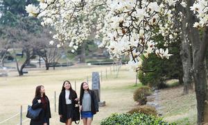 Hoa mộc lan nở rộ ở Seoul, đẹp không kém hoa anh đào