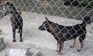 Đàn chó được đưa về trung tâm thú y sau khi cắn bé trai Hưng Yên tử vong