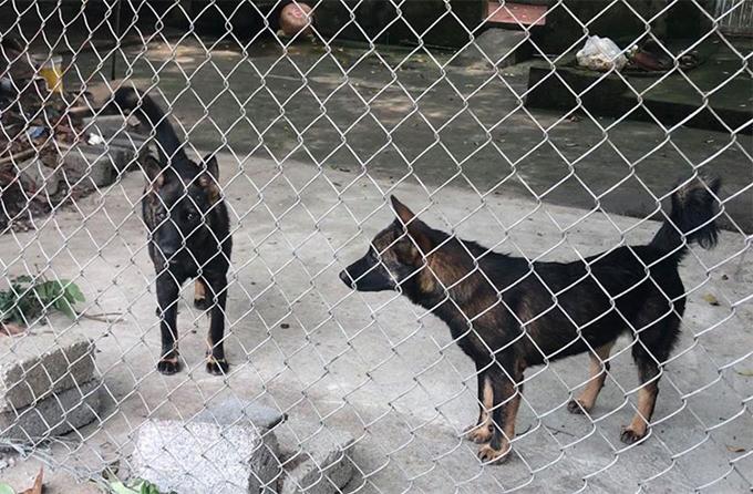 Hai trong số 7 con chó tấn công bé trai tối 3/4. Ảnh: Xuân Sơn.