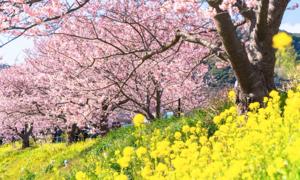 Hoa anh đào song hành với cải vàng dọc theo dòng sông 4 km ở Nhật