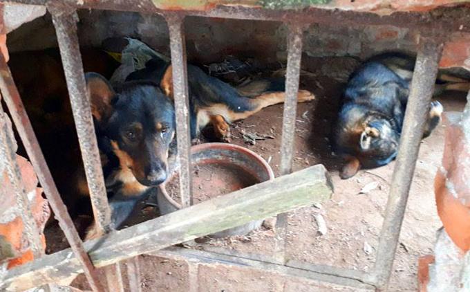 Hai trong số 9 con chó của gia đình bà Lê Thị Anđược cho là cắn cháu bé tử vong hôm 3/4. Ảnh: Phương Sơn.