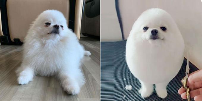 Con chó PomPom (ở Singapore) trước và sau khi được chủ cắt tỉa lông. Ảnh: Instagram.