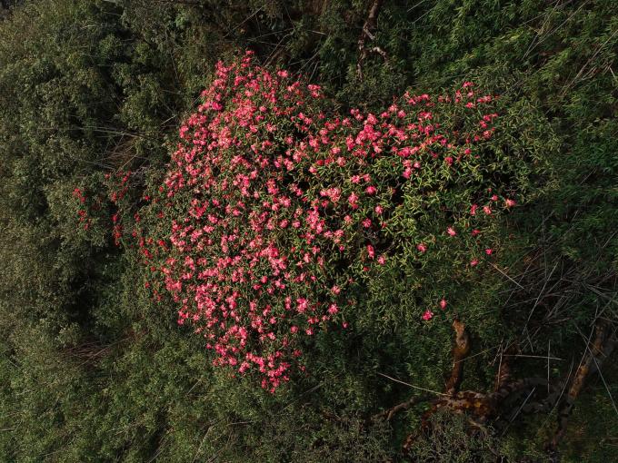 Dãy Hoàng Liên Sơn được mệnh danh là vương quốc hoa đỗ quyên. Từ tháng 2 đến tháng tư, nơi đây trở thành điểm check-in dành cho giới trẻ, đặc biệt là những người yêu hoa khi hàng nghìn cây hoa bung nở.