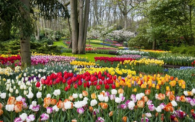 Khu vườn 7 triệu bông hoa tulip nở rực rỡ ở Hà Lan