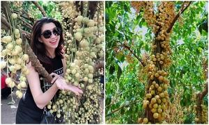 Ăn 'thả ga' ở vườn dâu da trĩu quả gần Sài Gòn