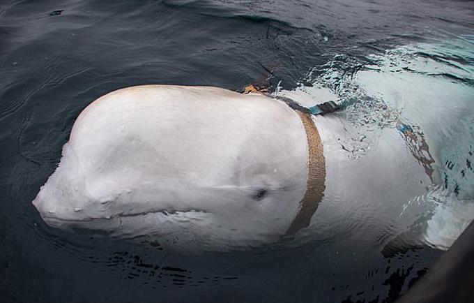 Cá voi trắng đeo dây và gắn camera được phát hiện ở biển Na Uy tuần trước. Ảnh: Joergen Ree Wiig.