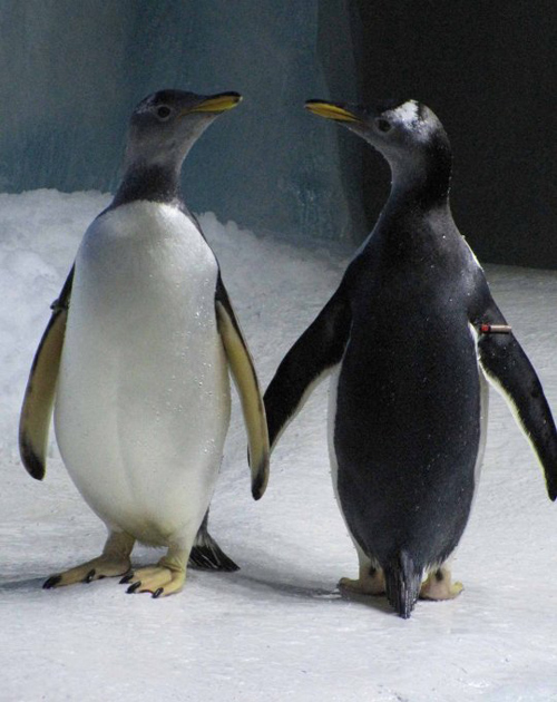 Hai trong số 8 con chim cánh cụt đồng tính ở thủy cung Dingle Oceanworld. Ảnh: Facebook.
