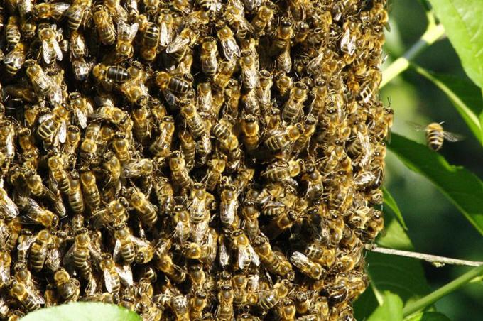 80.000 con ong làm tổ trong tường phòng ngủ