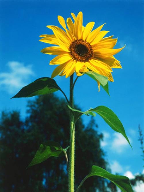 Bạn thấy SUNFLOWER (hoa hướng dương)
