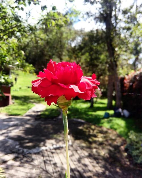 Bạn thấy CARNATION (hoa cẩm chướng)