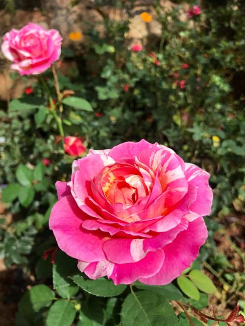 Hồng cổ Sapa và hồng Vân Khôi chiếm số lượng lớn trong khu vườn của bà mẹ Sài Gòn. Ngoài ra, chị còn sưu tầm nhiều loại hồng nhập ngoại như hồng bụi Claumonet (trong hình)...