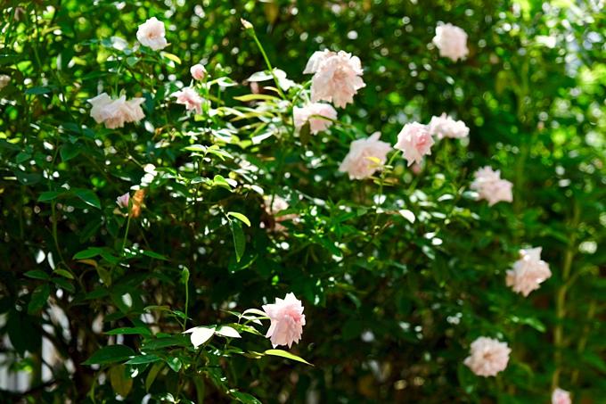Sài Gòn những ngày này trời nóng bức ban ngày và mưa lớn về chiều. Kiểu thời tiết có thể gâybất tiện cho sinh hoạt của mọi người nhưng lại là điều kiện lý tưởng để những khóm hồng trên sân thượng của nữ CEO công ty xuất nhập khẩubung nở đồng loạt, rực rỡ. Chị Hiền bảo đây là thời điểm hoa hồng nở nhiều nhất trong năm và sẽ kéo dài khoảng 10 ngày.