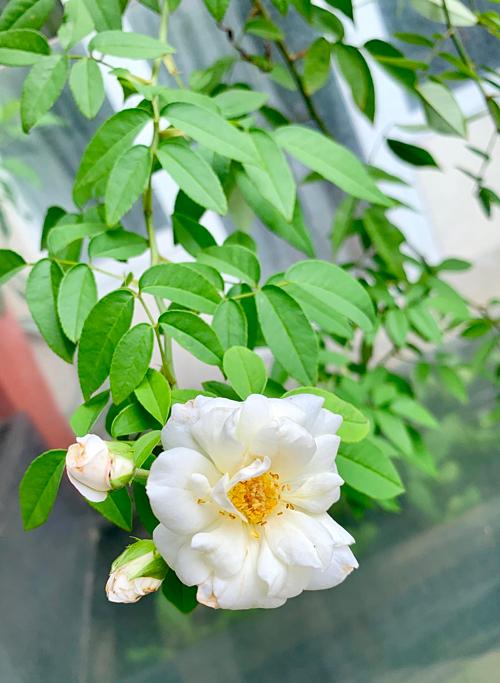 Gốc hồng bạch này chị Thanh Hiền đã trồng được khoảng 6-7 năm. Gốc cây to, thân và nhánh leo phủ kín cửa sổ phòng ngủ của chị.