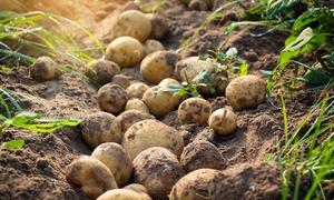 Khoai tây vị hạt dẻ đắt nhất thế giới