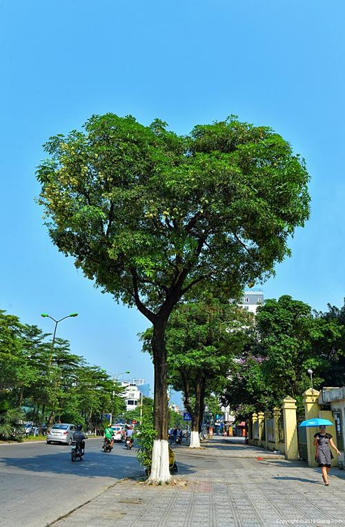 Cây hoa sữa hình trái tim gây sốt trên mạng xã hội. Ảnh: Giang Trịnh