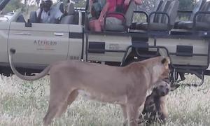 Chó hoang giả chết để thoát hàm sư tử