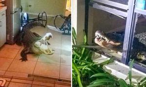 Cá sấu khổng lồ nửa đêm phá cửa sổ lẻn vào nhà dân