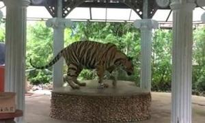 Vườn thú Thái Lan xích cổ hổ trên bục để khách chụp ảnh