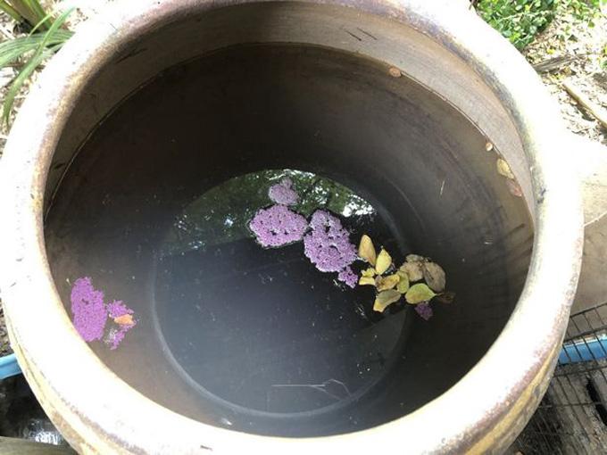 Thuốc trừ sâu màu tím chưa tan nổi lên trên bề mặc chum nước nhà bà Suban. Ảnh: Viral Press.