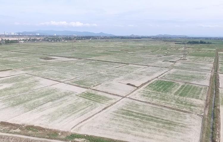 Một cánh đồng lúa ở Nghệ An trắng xóa như sa mạc. Ảnh: Anh Thư.