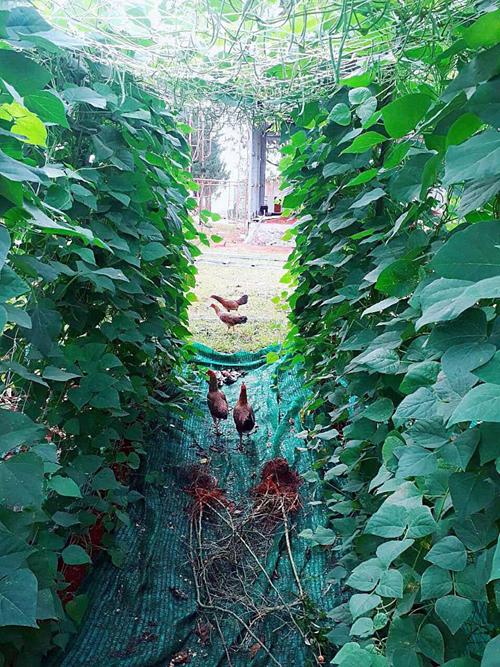 Lý Nhã Kỳ thích nhất những ngày cuối tuần được về Đà Lạt hái rau, quả và nhặt trứng gà trong vườn nhà.