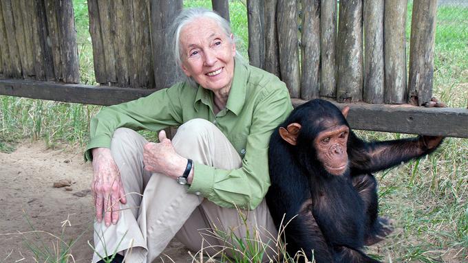Bà Jan Goodall là một nhà linh trưởng học - người am hiểu loài tinh tinh nhất thế giới hiện nay. Ảnh: AP.