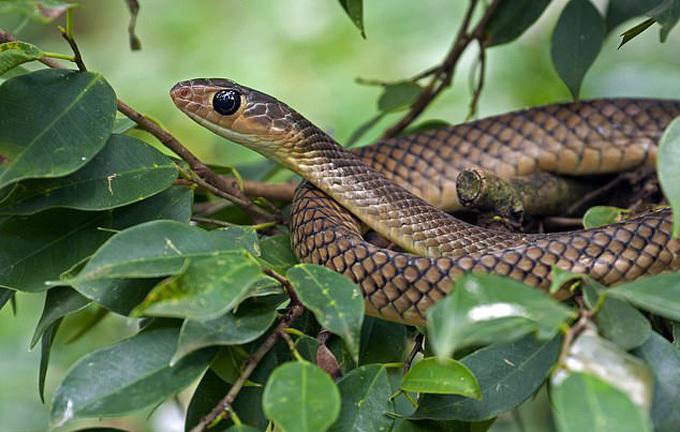 Con rắn cắn Kumar là rắn chuột, không có độc. Ảnh minh họa: Universal Images Group.