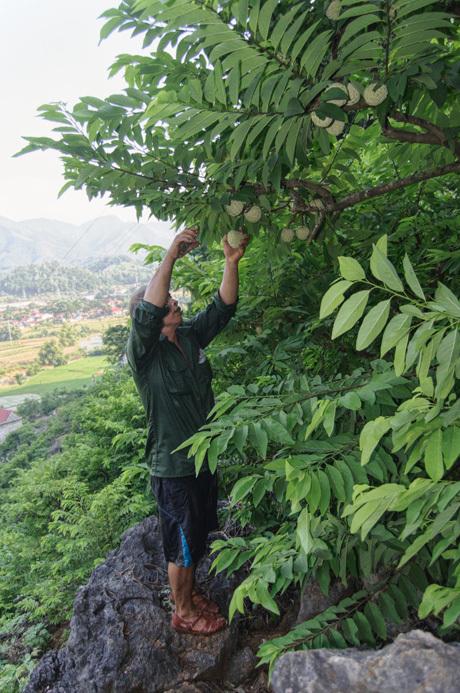 Để na không bị thâm, xấu mã thì ngay khi hái na trên vườn, người trồng thường xếp na theo từng hàng rồi lót lá lên.