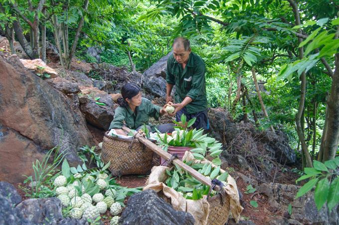 Gia đình ông Hền, bà Biên là một trong số các gia đình trồng na ở Than Muội. Gia đình hiện có 500 gốc na, họ cho biếtnếu na mở mắt nhiều thì sẽ thuđược 2 hoặc 3tạ mộtngày, và cần 3 -4 người hái.