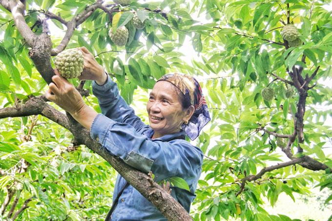 Bà Du, cũng sống ở thôn Than Muội, cho haynhà bà có 300 gốc na, cũng chủ yếu là na dai.