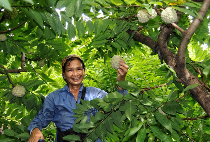 Tuy sản lượng thu hoạch năm nay bằng năm ngoái nhưng bà Du nói thêm quả na năm nay không to bằng năm ngoái.