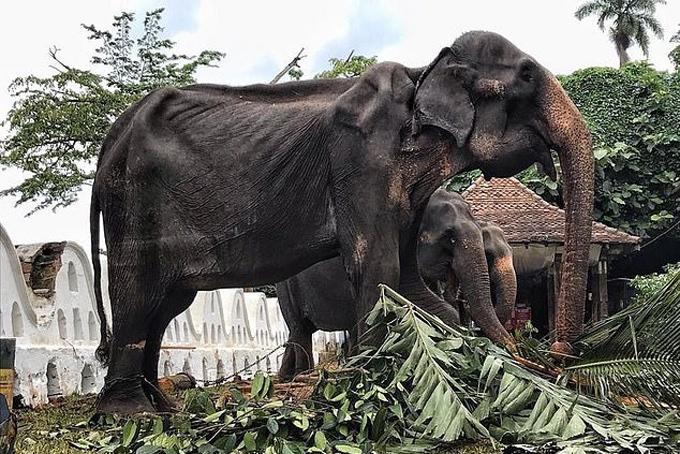Hình ảnh con voi Tikiri gầy trơ xương được xích tại một ngôi đền ở thành phố Kandy, Sri Lanka. Ảnh: SaveElephantFoundation.
