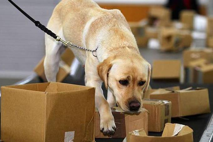 Chó nghiệp vụ hỗ trợ các nhân viên an ninh tại sân bay quốc tế Auckland. Ảnh: NZH.