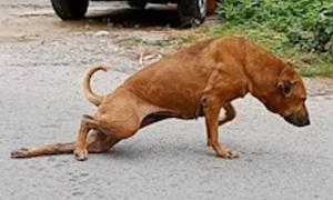 Chó giả què để xin ăn
