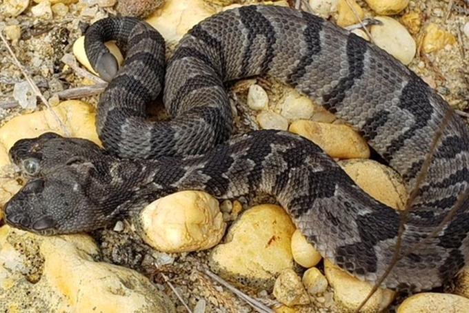 Con rắn hai đầu vừa được tìm thấy tại New Jersey, Mỹ. Ảnh: NYP.