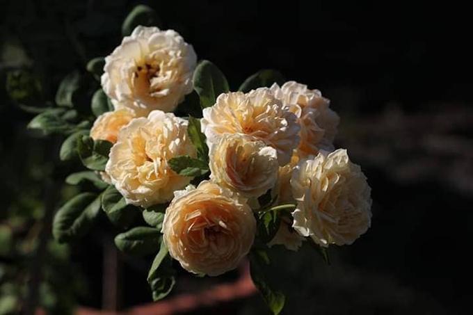 Hoa hồng có chu kỳ ra hoa khoảng 30 - 40 ngày tùy giống. Để cây ra hoa đẹp, anh Tuân luôn giữ giá thể có độ tơi xốp, đảm bảo chất đất nhiều dinh dưỡng, có khả năng thoát nước tốt. Anh thường chọn phân dê để làm giá thể, bón lót, bón thúc cho cây.*Bón lót: Với cây lâu năm, bón lót bao gồm cả việc bón phân trước khi trồng và bón phân vào giai đoạn cây ngừng sinh trưởng trong năm, bón phân phục hồi cây sau khi thu hoạch.* Bón thúc:Là sử dụng phân bón trong khi cây đang sinh trưởng, phát triển với mục đích cung cấp đủ và kịp thời các dưỡng chất cho cây trồng sinh trưởng phát triển tốt và chonăng suất cao. Bón thúc không đủ phân cây trồng sẽ kém phát triển, đạt năng suất thấp. Các loại phân bón thúc là các loại phân bón dễ tan, chứa các dưỡng chất dễ tiêu (dễ hấp thu), phân hữu cơ hoại mục, phân bón hữu cơ sinh học, phân bón hữu cơ vi sinh.
