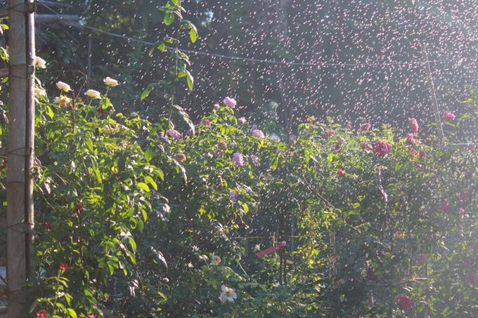 Những ngày thời tiết quá nóng nực, anh tưới cây 2 lần/ngày vào sáng sớm, chiều mát, sử dụng thêm máy phun tạo mưa, làm mát lá giúp cây phát triển tốt, cho ra những bông hoa đẹp.