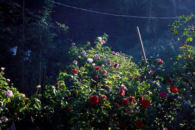 Qua tìm hiểu, anh Tuân nhập giống hoa từ Thái Lan về để trồng và học cách nhân giống, chia sẻ với người cùng đam mê, sở thích. Càng trồng hoa càng nghiện vì hoa hồng có cả ngàn giống khác nhau. Vẽ tranh được bao nhiêu tiền, tôi lại mua hoa. Nhờ vậy, khu vườn của tôi đã có hơn 1.000 gốc hồng, anh nói.