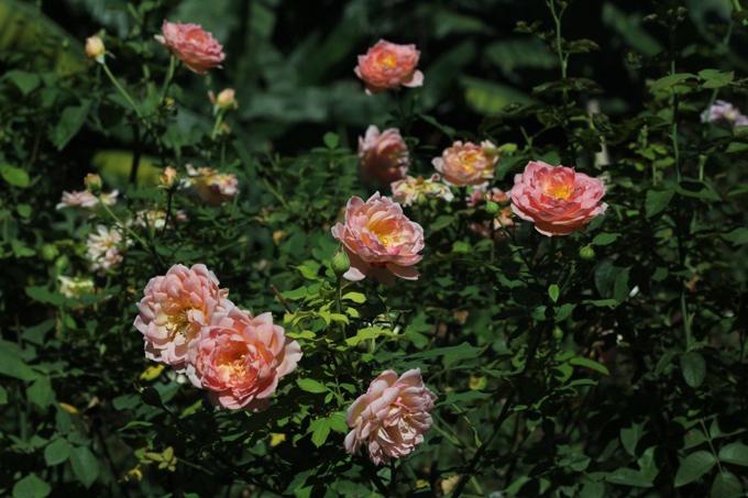 Khí hậu Đà Nẵng nắng nóng vừa là ưu điểm, vừa là nhược điểm khi trồng hoa hồng vì hồng là loại cây ưa sáng nhưng buổi tối cần mát mẻ. Thời tiết nắng nóng khiến cây gặp bệnh như bọ trĩ, lá ngọn xoắn tít, mùa mưa mắc nấm bệnh. Với tình hình này, anh Tuân thường phải phun thuốc phòng bệnh cho hoa liên tục 1 tuần/lần.