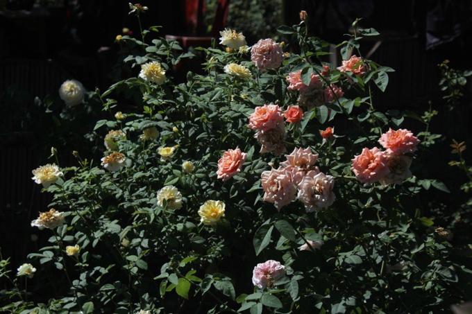 Ban đầu, anh Tuân tìm hiểu về hoa, cách chăm sóc và thử trồng hồng ở khu đất có diện tích 20 m2. Sau một thời gian, thấy hồng cho hoa quanh năm, lại là giống lâu năm nên anh mạnh dạn thuê mảnh đất gần nhà với diện tích 1.200 m2 để trồng hoa.