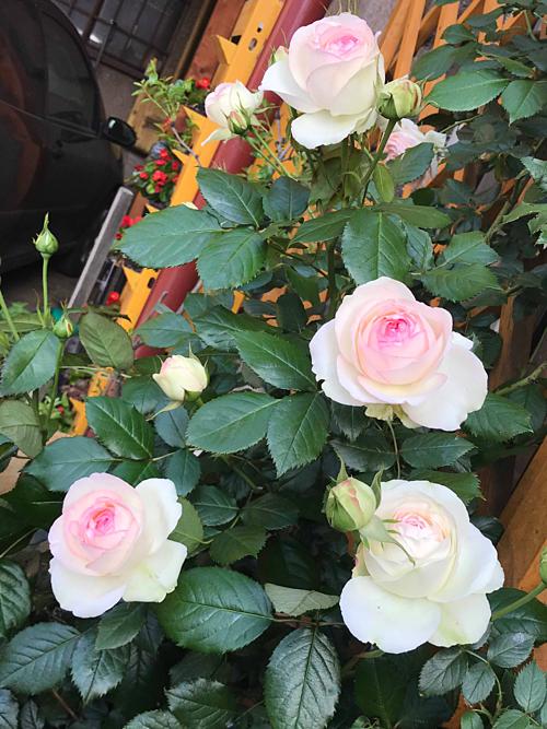 Tuy nhiên, chiếm số lượng lớn hơn cả trong khu vườn nhà chị Nga là những gốc hồng đủ loại, từ Eden 85 đếnFlorentina, Marvelle hay Yellow Queen Elizabeth...