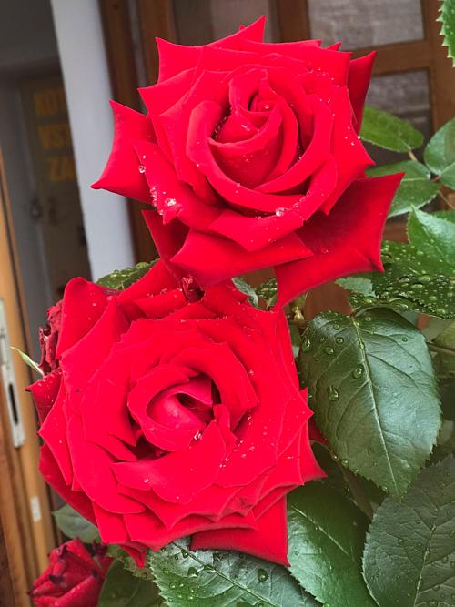 Hiện tại, chị Nga có tổng số khoảng 15 gốc hồng, cây nào cây nấy đều nhiều hoa, có những cây bé xíu mà một lúc ra cả 20 nụ.